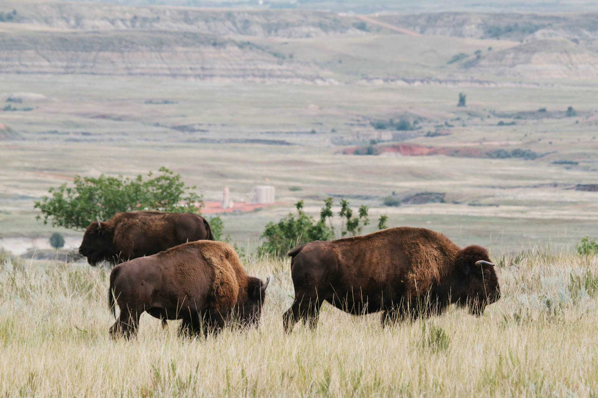 bison-near-drill-site-theodore-roosevelt-national-park