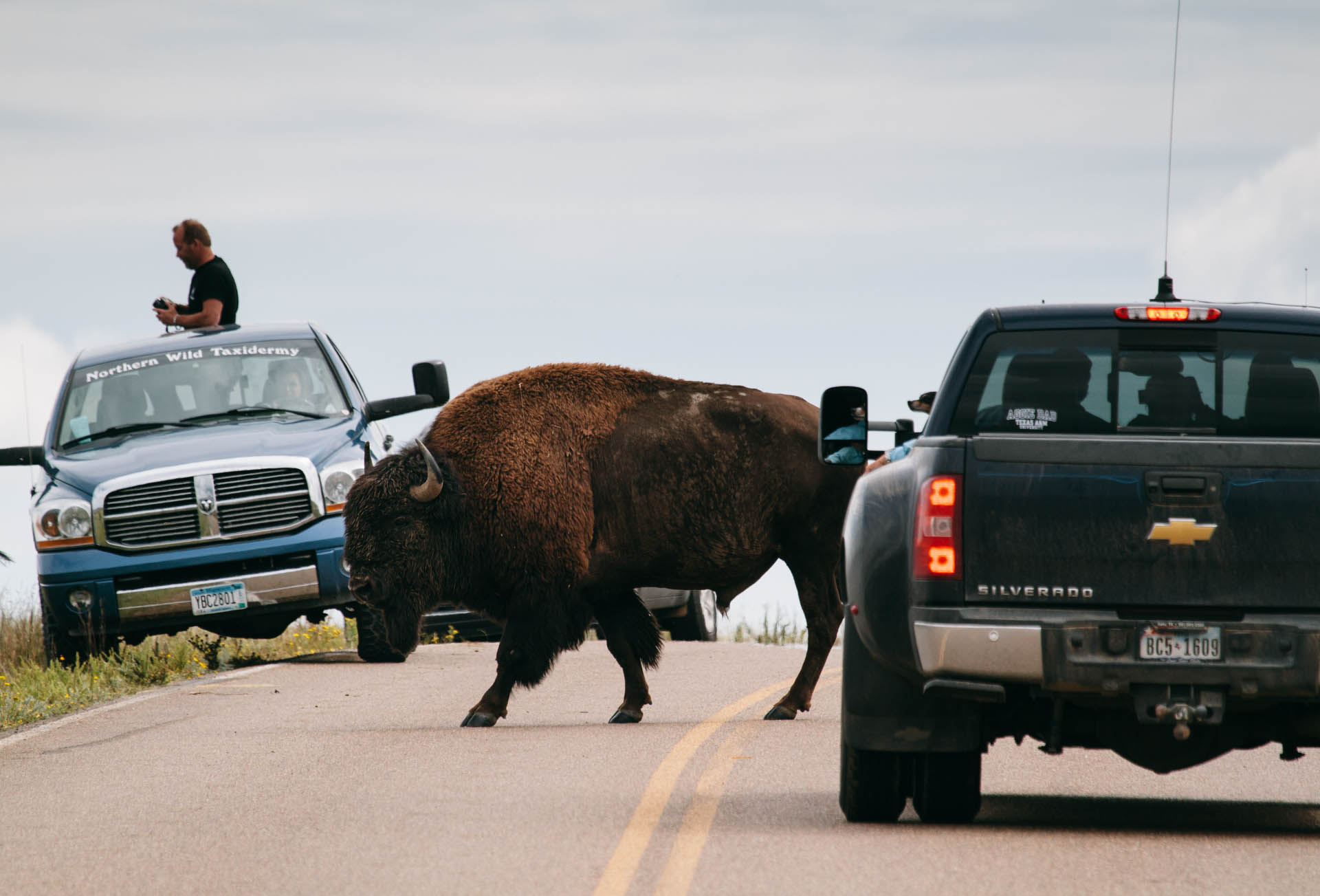 large-bison-walks-between-trucks-nd